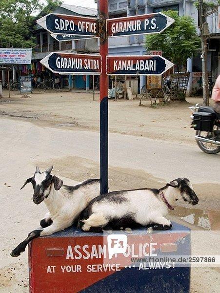 Ziegen ruht in einer Kreuzung auf Majuli Island in Indien Assam