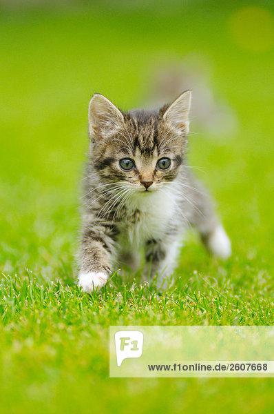 Nahaufnahme der Kätzchen Wandern im Feld