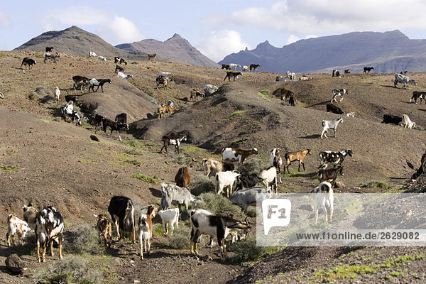 Spain  The Canary Islands  goat herd in hilly landscape