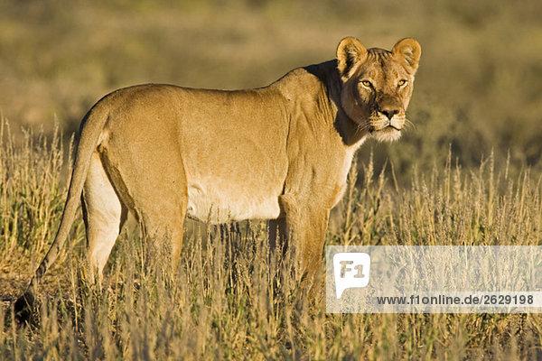 Africa  Namibia  Kalahari  Lioness (Panthera leo) in grass watching