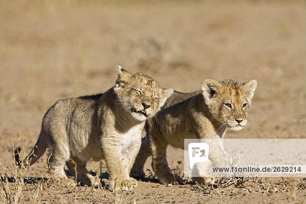 Africa  Namibia  African Lion cubs (Panthera Leo)