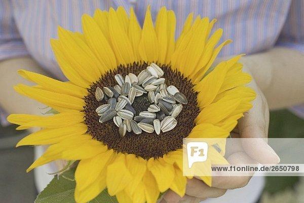 Eine Sonnenblume mit ungeschälten Sonnenblumenkernen