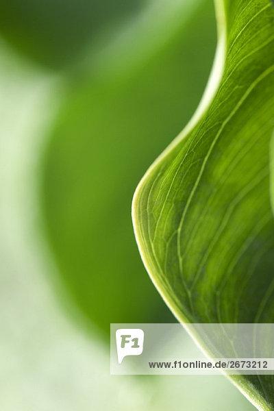 Variegated leaf  extreme close-up