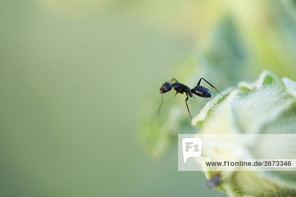 Argentinischer Ant stehend aufrecht am Rand der Blütenknospe