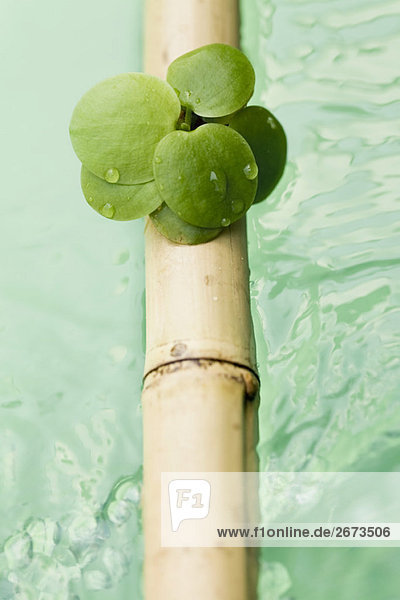 Wasser Pflanzenblatt Pflanzenblätter Blatt Stange Bambus