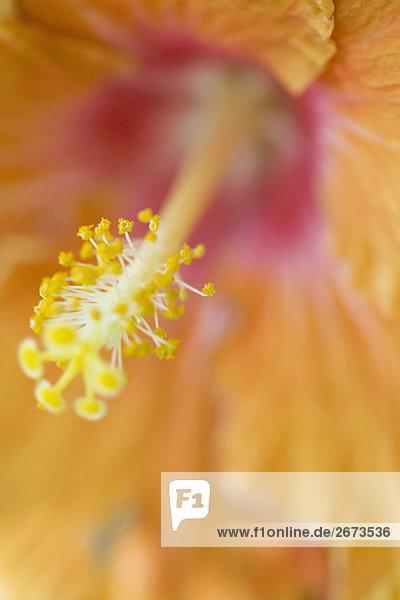 Hibiscus  Nahaufnahme auf Staubblätter und Antheren