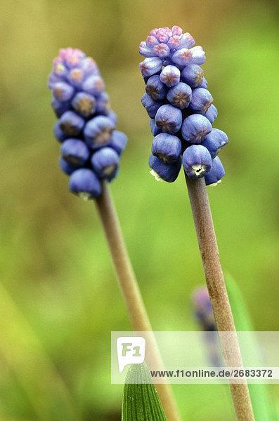 Nahaufnahme der Hyazinthe Blumen  Schweden