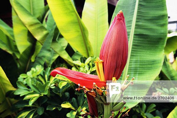 Eine Bananenpflanze ist gesehen wächst in Jamaika