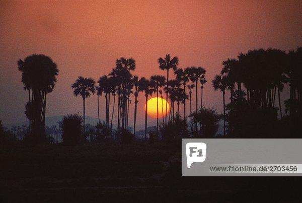 Sunrise hinter den Palmen  Irrawaddy  Myanmar