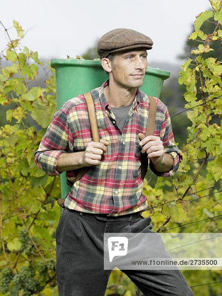 A vintner carrying a bucket of grapes on his back
