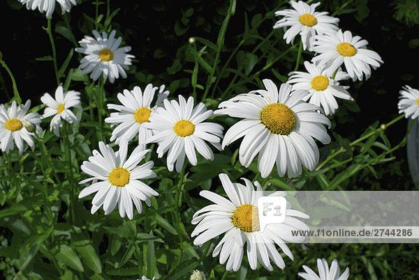 Gänseblümchen-Blumen Nahaufnahme