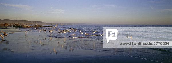 Möwen über San Simeon Bay  Kalifornien  USA