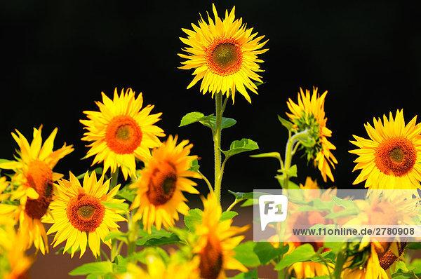 Nahaufnahme der blühenden Sonnenblumen (Helianthus Annus)