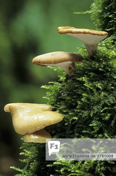 Nahaufnahme der Blackfoot holzbewohnende Pilze (Schuppiger Leptocephalus) wächst in Forest  Schleswig-Holstein  Deutschland