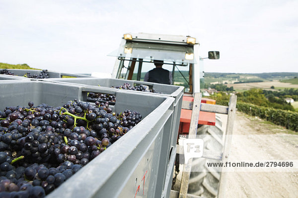 France,  Champagne-Ardenne,  Aube,  grapes in large bins being hauled by tractor