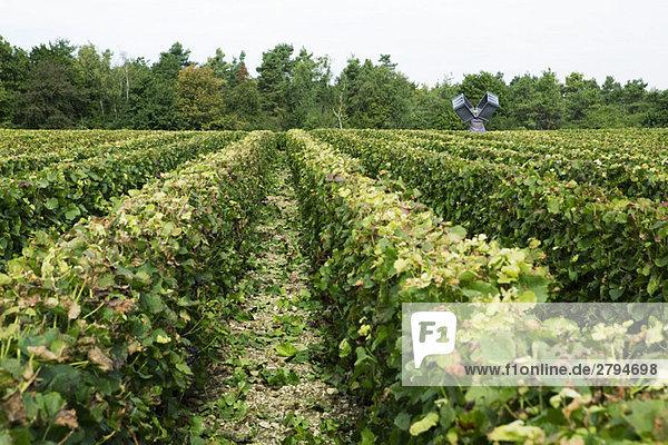 Frankreich  Champagne-Ardenne  Aube  Rebzeilen im Weinberg