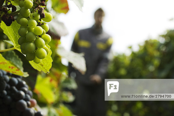 France,  Champagne-Ardenne,  Aube,  grapes growing on vine,  close-up