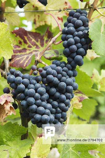 Heavy bunches of black grapes on vine,  close-up