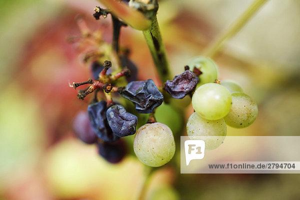 Weiße Trauben und Rosinen am Stiel,  Nahaufnahme