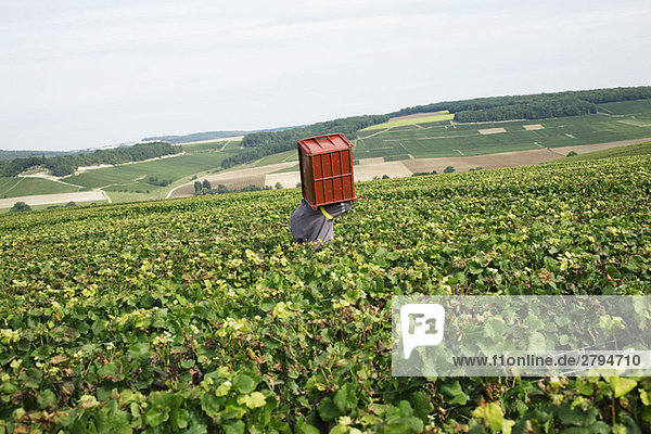 France,  Champagne-Ardenne,  Aube,  wine harvester carrying bin in vineyard