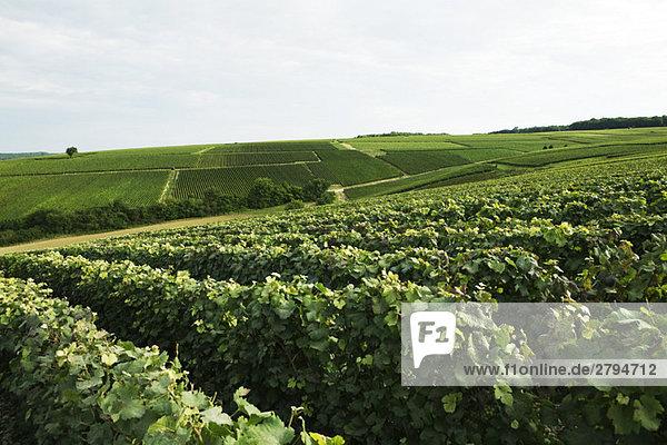 Frankreich  Champagne-Ardenne  Aube  üppiger Weinberg