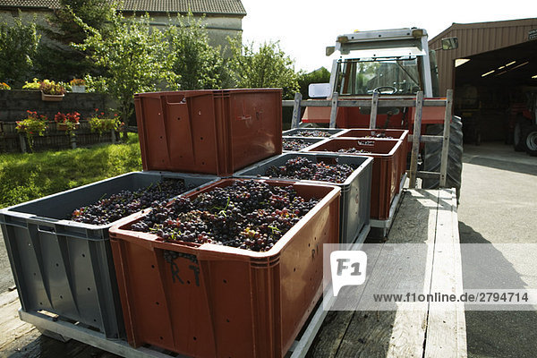 France,  Champagne-Ardenne,  Aube,  bins full of grapes on trailer bed