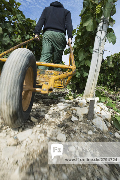 France,  Champagne-Ardenne,  Aube,  wine harvester pulling wheelbarrow through vineyard,  rear view,  low angle
