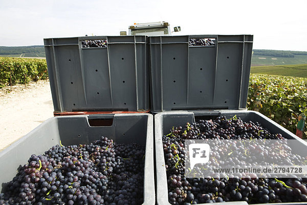 France,  Champagne-Ardenne,  Aube,  bins of grapes stacked in vineyard