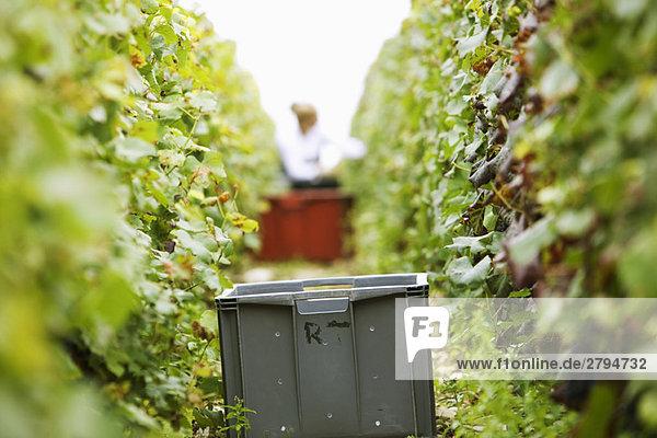 Frankreich  Champagne-Ardenne  Aube  Kunststoffbehälter zwischen zwei Reihen Weinreben im Weinberg