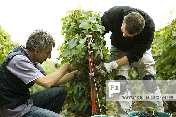 Frankreich  Champagne-Ardenne  Aube  Männer bei der Weinlese im Weinberg