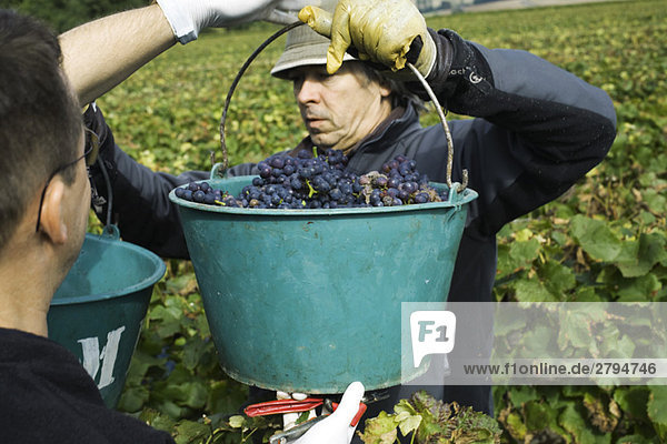 France,  Champagne-Ardenne,  Aube,  workers holding buckets of grapes in vineyard