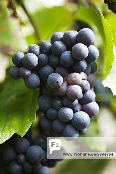 Black grapes growing on vine
