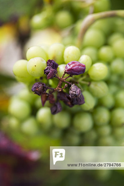 Rosinen und Trauben am Stiel