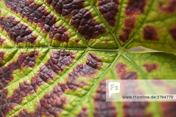 Grape leaf,  extreme close-up