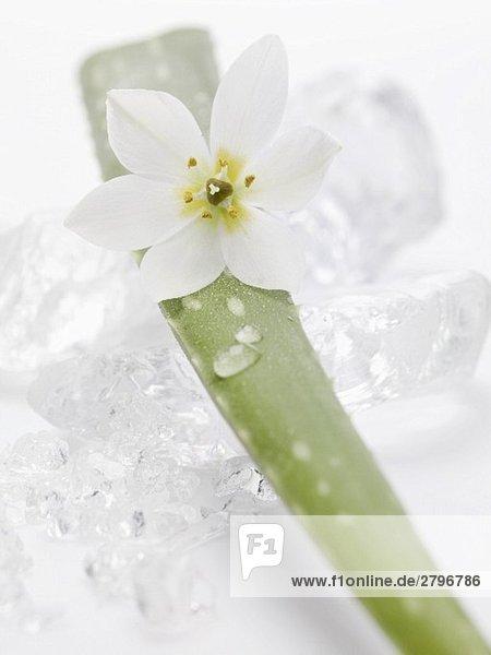 Trieb einer Aloe-Vera-Pflanze mit Blüte auf Eiswürfeln Trieb einer Aloe-Vera-Pflanze mit Blüte auf Eiswürfeln