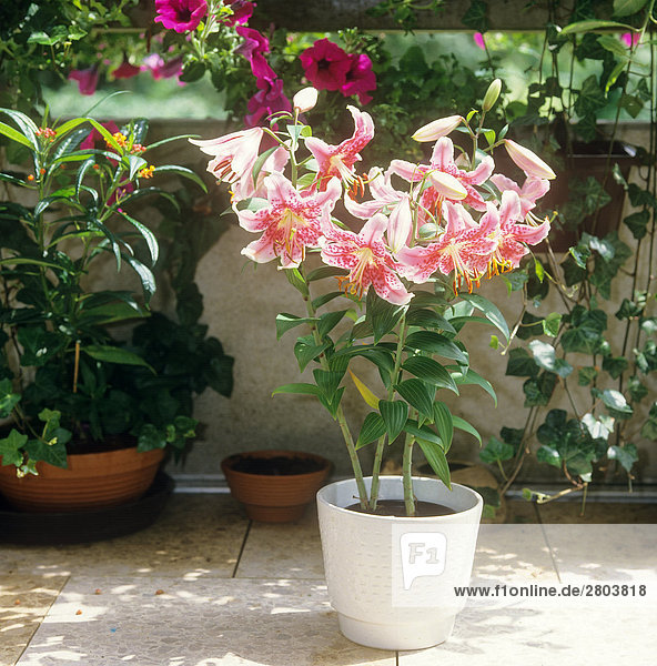 Pracht-Lilie im Topf