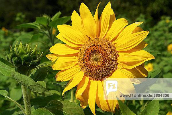 Sonnenblume - Blüte