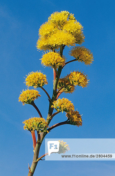 agave americana bl ten vor blauem himmel 150057 rf company lizenzfreies bild f1online. Black Bedroom Furniture Sets. Home Design Ideas