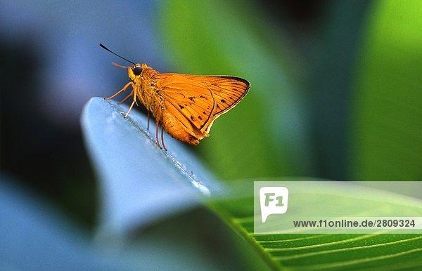 Close up Schmetterlings auf grünes Blatt  Hainan