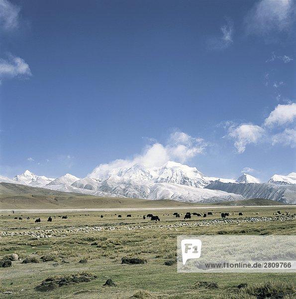 Kleinvieh und Herden auf Plain  Tanggula Berge