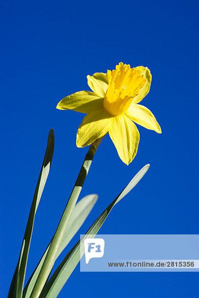 Daffodil Sweden.