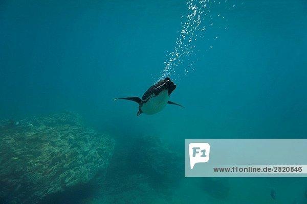 Fischköder  klein  Unterwasseraufnahme  Insel  Inselgruppe  Tier  Naturvolk  Galapagosinseln  Erwachsener  Ecuador  Futter suchen  Nahrungssuche  Pinguin