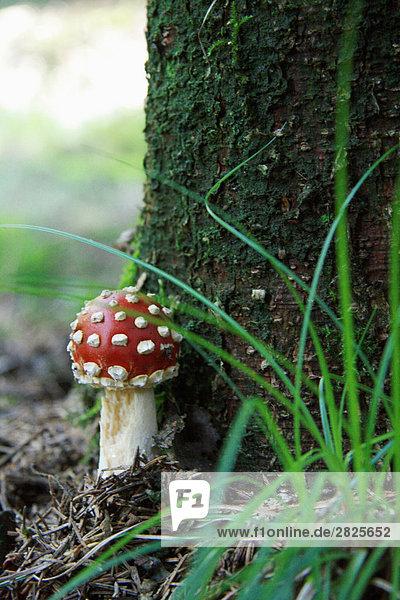 Nahaufnahme-Fliegenpilz (Amanita Muscaria) Pilz wächst im Wald