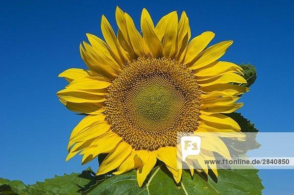 Sonnenblumen  Treherne  Manitoba  Kanada.