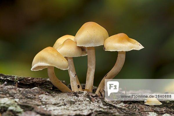 Schwefelköpfe-Arten des Pilzes  Vancouver Island  British Columbia  Kanada.