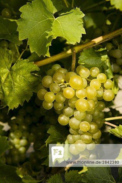 Weinberg mit einer Mehrheit von Seyval weintraube Vielfalt  der stammt aus der Champagne Region  Dunham  Eastern Townships  Québec  Kanada