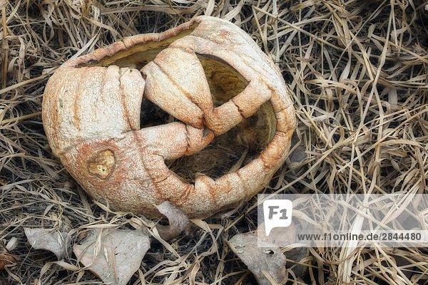 Alte  verschrumpeltes Kürbis in Garten im Herbst Alte, verschrumpeltes Kürbis in Garten im Herbst