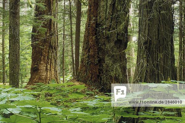Regenwald  Tal Bella Coola  British Columbia  Kanada.