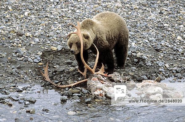 Grizzlybär (Ursus Arctos Horribilis) stehend mit Beute am Flussufer  Denali National Park  Alaska  USA