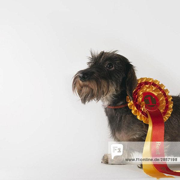 Hund mit Band des ersten Preises